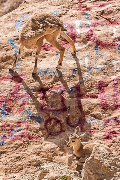 וולגאריות לשמה.יעלים על רקע מרוסס במכתש רמון. צלם:עפר גדנקן